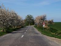 Kvetoucí alej třešní kousek za Dobroslavicemi směrem na Háj ve Slezsku.